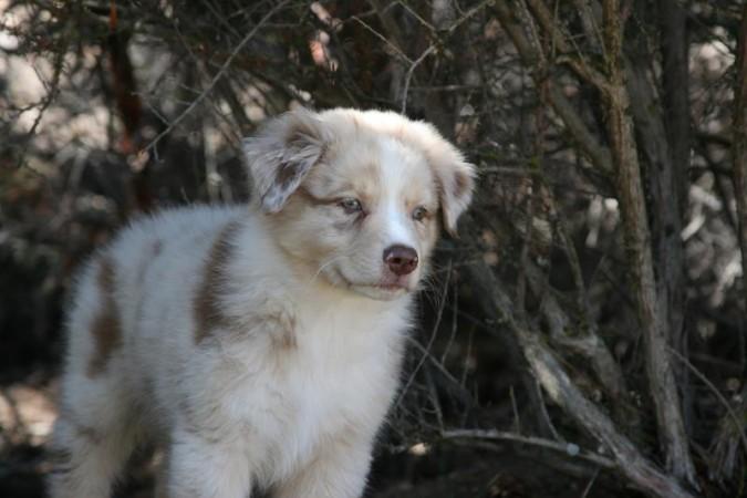 Young Red Merle Australian Shepherd